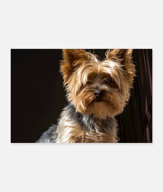Terrier Posters - Yorkshire Terrier - Posters blanc