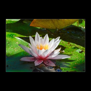 water lily - 30x20 cm Poster