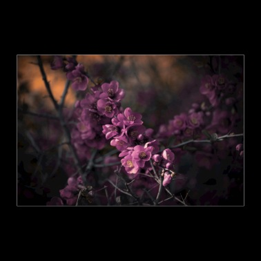 pink flowers in a dark romantic mood - 30x20 cm Poster