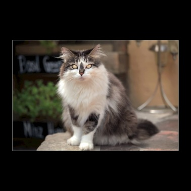 Maine Coon cat in the stare contest - 30x20 cm Poster