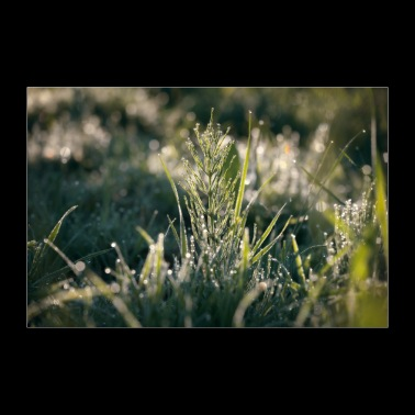 Grass with dew drops in morning sun - 30x20 cm Poster