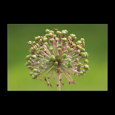 Green flower - nature shot - 30x20 cm Poster