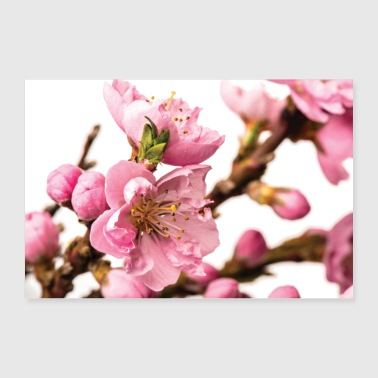 Blossoming peach tree - Poster 24 x 16 (60x40 cm)