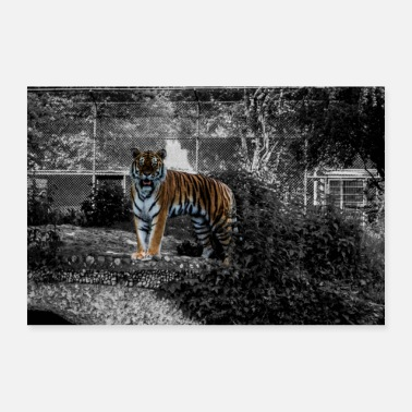 South Africa tiger - Poster 24 x 16 (60x40 cm)