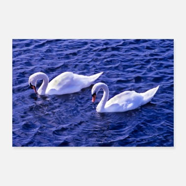 Swans on a lake - Poster