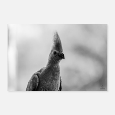 African Gray Go-Away bird - Poster