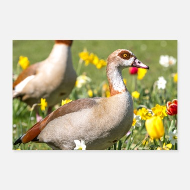 Feet Egyptian Goose (in German Egyptian goose, Alopochen aegyp - Poster
