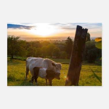 Kuhweide Cuddling cows - Poster