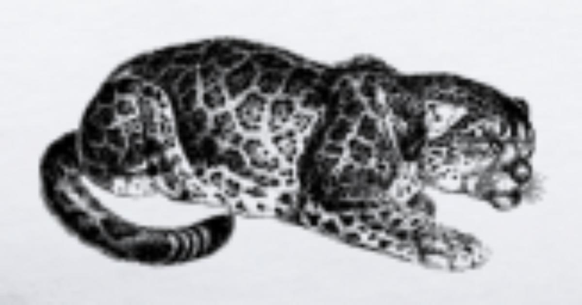 Gepard Kot Lampart Jaguar Ocelot Gepard Wildcat1 Premium Koszulka