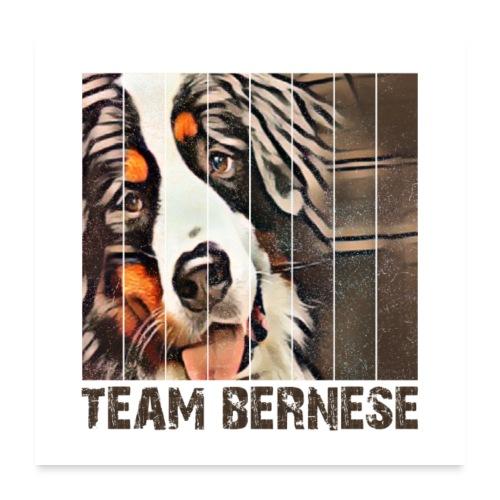 Bernese mountain dog - Poster 60x60 cm