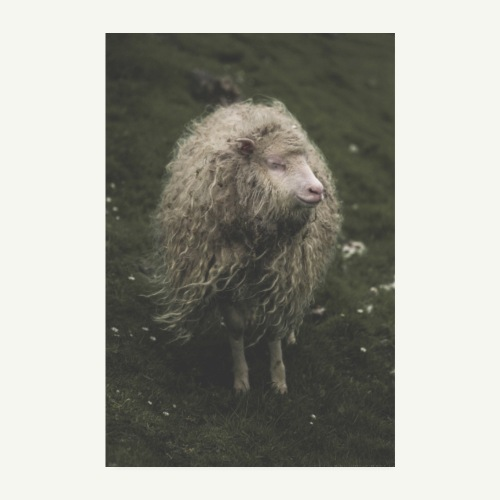 The Hippie Sheep from the Faroe Islands - Poster 20x30 cm