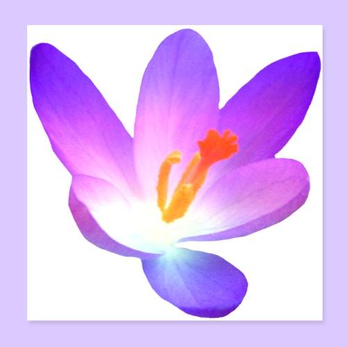 wundervolle Krokus - Blüte in violett im Frühjahr - Poster 20x20 cm