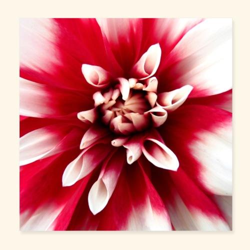 Dahlienblüte, Blume, Blüte, foral, blumig, Blumen - Poster 20x20 cm