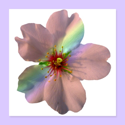 zauberhafte Blüte in coral, Regenbogen - Poster 40x40 cm