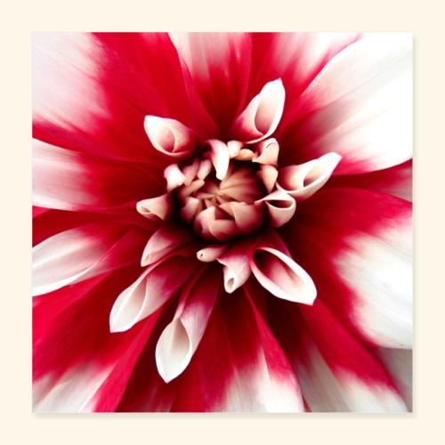 Dahlienblüte, Blume, Blüte, foral, blumig, Blumen - Poster 40x40 cm