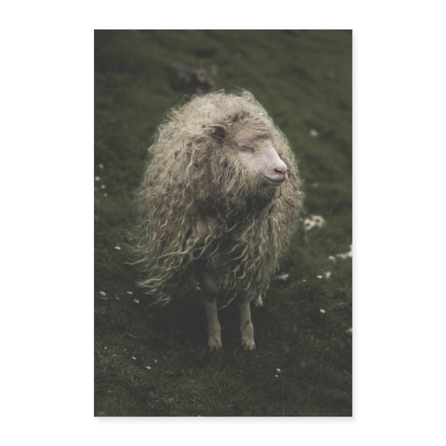 The Hippie Sheep from the Faroe Islands