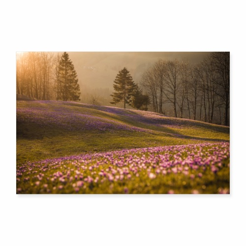 Krokuswiese bei Sonnenuntergang - Poster 90x60 cm