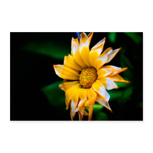 Yellow flower with black background - Poster 36 x 24 (90x60 cm)