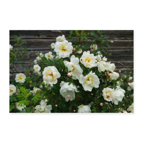Midsummer roses - Juliste 90x60 cm