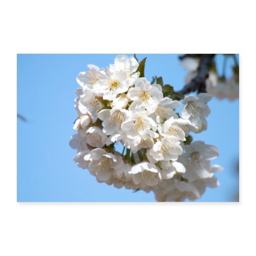 Fleurs de cerisier au printemps - Poster 90 x 60 cm