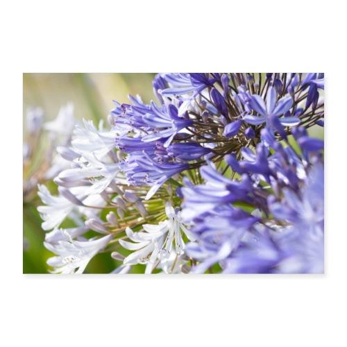 Fleurs d'agapanthe - Poster 90 x 60 cm