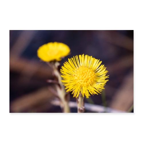 Huflattich Blüten | Tussilago farfara - Poster 90x60 cm
