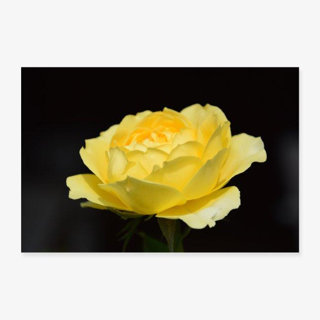 Außergewöhnlich mhofmann | Gelbe Rose - Poster 30x20 cm @GL_73