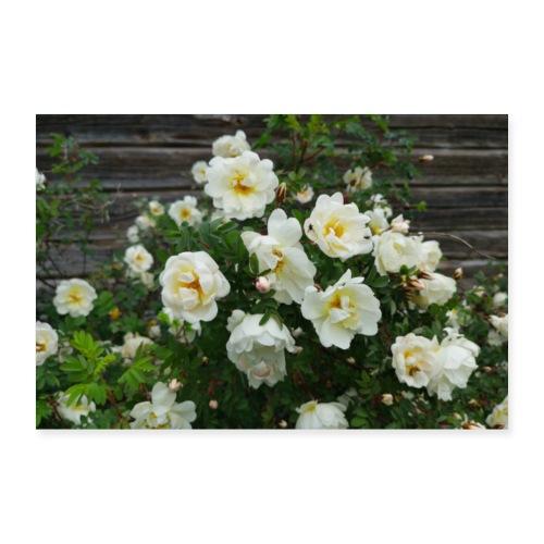 Midsummer roses - Juliste 30x20 cm