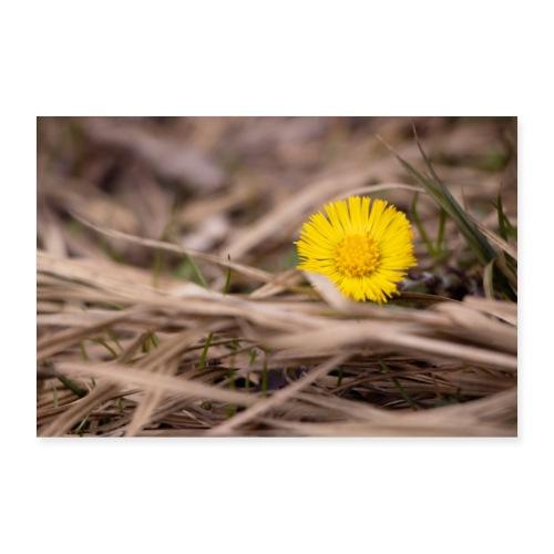 Huflattich Stroh | Tussilago farfara - Poster 30x20 cm