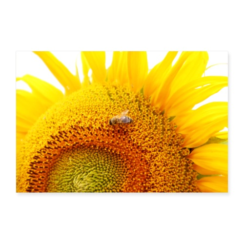 Sonnenblume mit einem Gast - Poster 30x20 cm