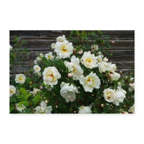 Midsummer roses - Juliste 60x40 cm