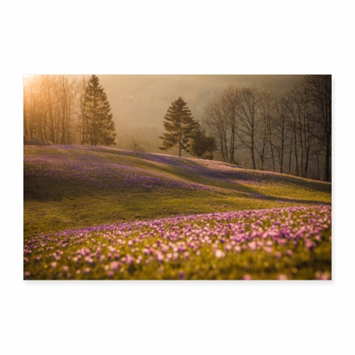 Krokuswiese bei Sonnenuntergang - Poster 60x40 cm