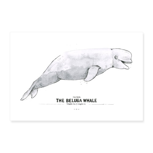Weißwal (The Beluga Whale) - Poster 60x40 cm