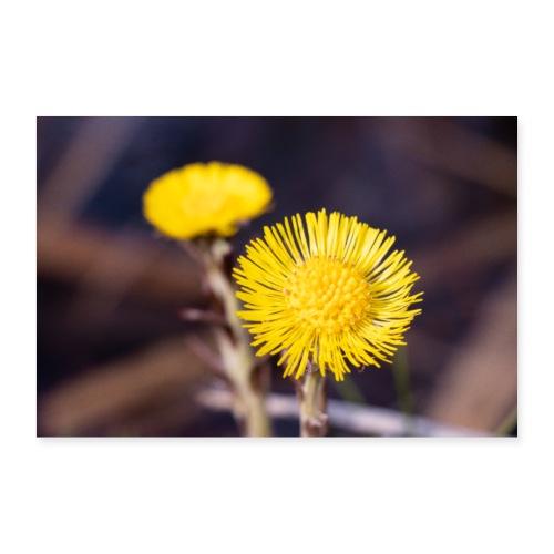 Huflattich Blüten | Tussilago farfara - Poster 60x40 cm